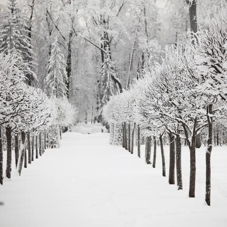 bosque con nieve: �rboles de invierno en la nieve de fondo blanco