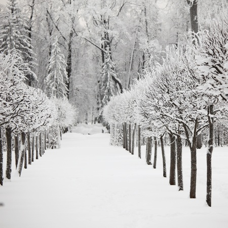 black and white forest:  winter trees on snow white background