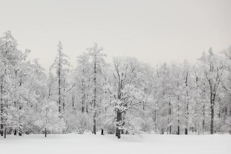 winter trees on snow white background photo