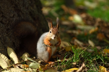 squirrel in autumn forest macro close up Stock Photo - 9855779