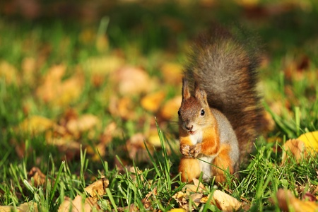 squirrel jumps in the autumn forest Stock Photo - 9909681
