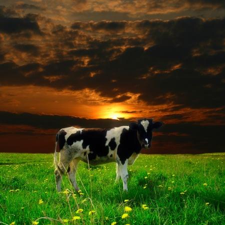 cows grazing: cow on green dandelion field under sunset sky