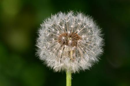 spring wish dandelion macro close up  photo