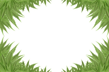 marijuana cannabis background green textures photo