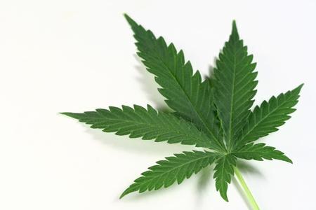 hanf: Cannabis isoliert in wei? aus amsterdam  Lizenzfreie Bilder