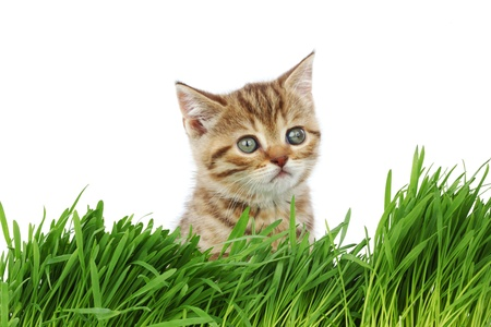 cat behind grass isolated on white background Stock Photo - 9993228
