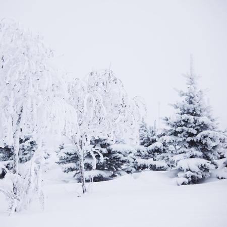 winter trees on snow white background Stock Photo - 9993276