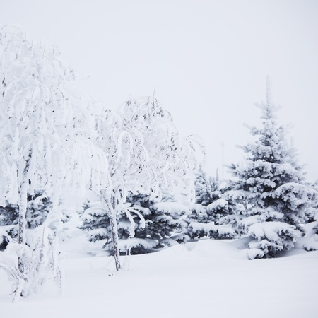 winter trees on snow white background Stock Photo - 9993276