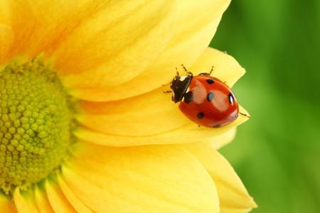 ladybug on yellow flower grass on background Stock Photo - 9993329