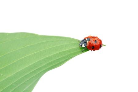 lady bug: ladybug on big green leaf