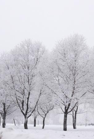 winter trees on snow white background Stock Photo - 10015135