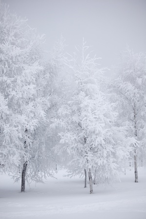 winter trees on snow white background Stock Photo - 10023070