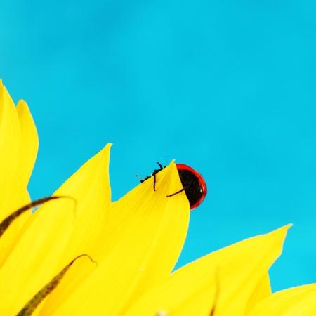 ladybug on sunflower blue background photo