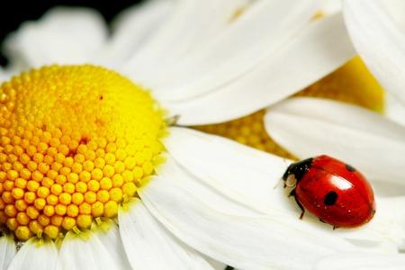 ladybug on white camomile summer background photo