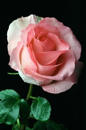 orange rose:  pink rose