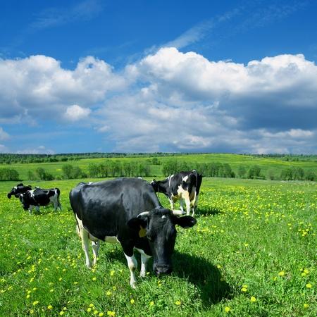 melker: koe op groen paardebloem veld onder de blauwe hemel
