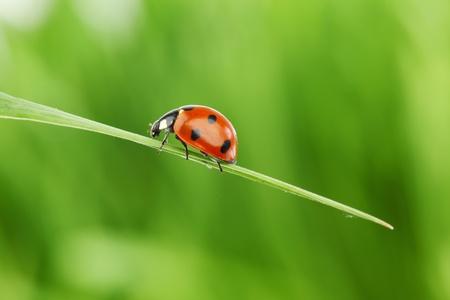 ladybug on grass green on background Stock Photo - 10169931