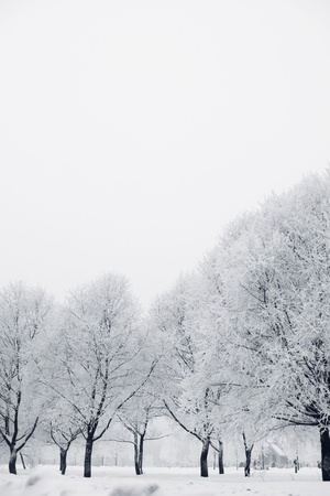 winter trees on snow white background photo
