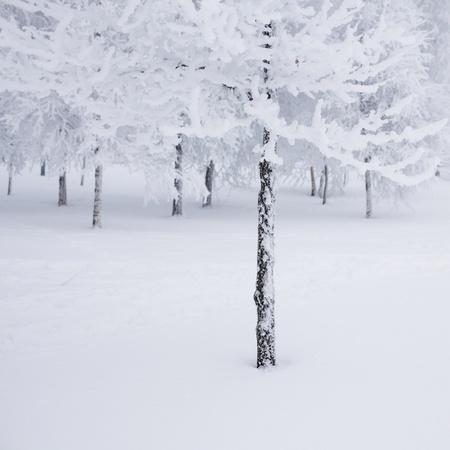 bosque con nieve: �rboles de invierno sobre fondo blanco nieve