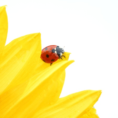 ladybug on sunflower isolated white background photo