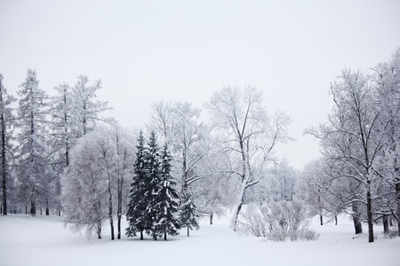 winter trees on snow white background Stock Photo - 10170379
