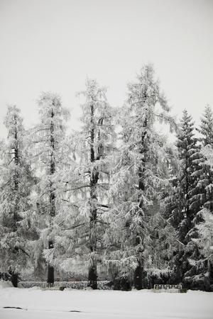 winter trees on snow white background Stock Photo - 10170387