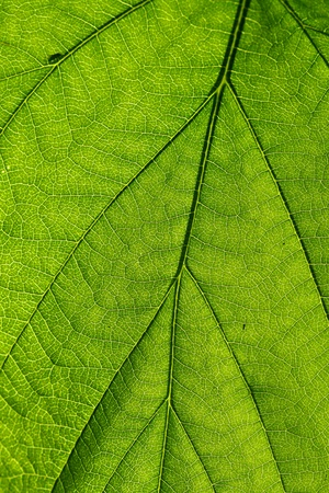 summer green leaf macro close up photo