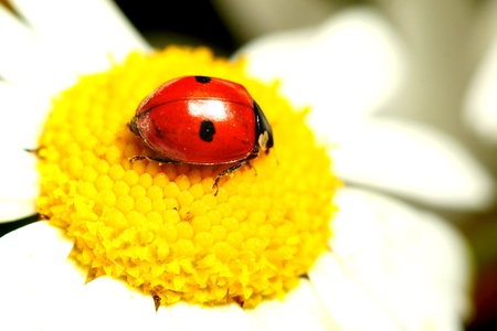 ox eye: ladybug on white camomile summer background Stock Photo
