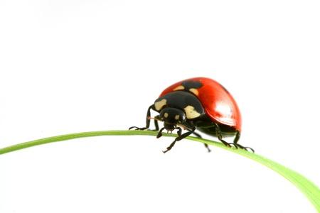 mariquitas: Mariquita roja sobre hierba verde aislado