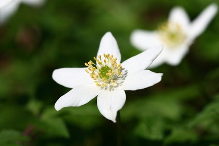 windflower: white spring windflower