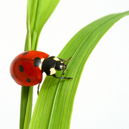 red ladybug on green grass isolated Stock Photo - 10316172