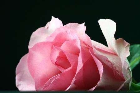 orange rose: fresh pink rose