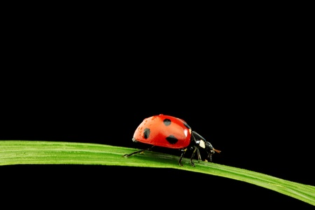 ladybug on grass isolated black background photo