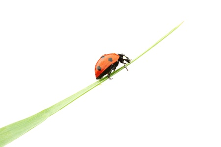 ladybug on grass isolated macro photo