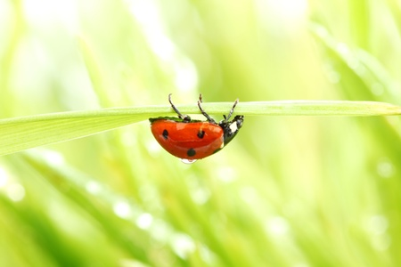 ladybug on grass in water drops Stock Photo - 10345287
