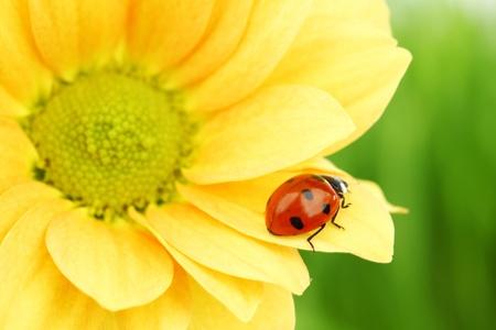 背景の黄色い花草の上のてんとう虫