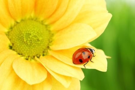 flower ladybug: ladybug on yellow flower grass on background