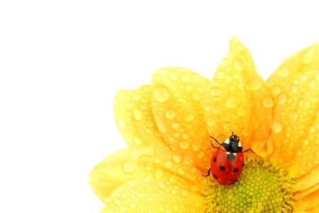mariquitas: Mariquita sobre fondo blanco de flor amarilla aislado Foto de archivo