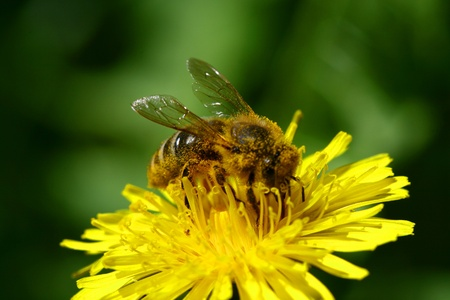 macro bee on yellow dandelion flower