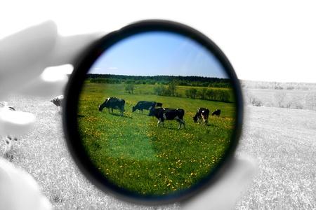 fresian: cow in dark filter on green field