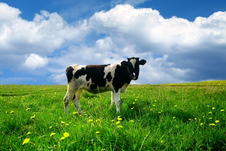 cow on green dandelion field under blue sky Stock Photo