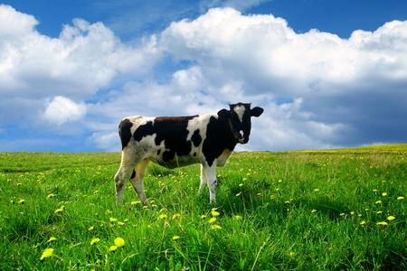 cow grass: cow on green dandelion field under blue sky Stock Photo