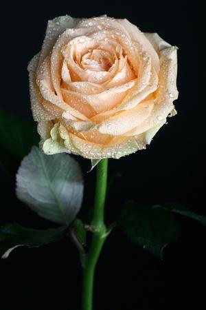 orange rose: fresh white rose