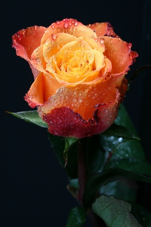 orange rose: dew on fresh orange rose