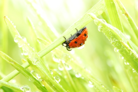 ladybug on grass in water drops Stock Photo - 10403345