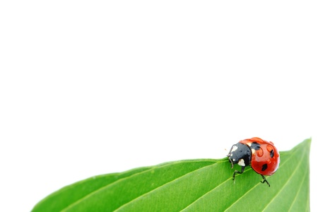 ladybug on big green leaf Stock Photo - 10403268