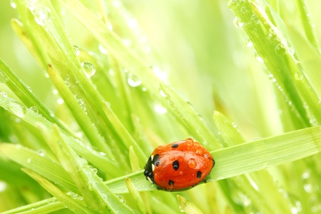 ladybug on grass in water drops photo