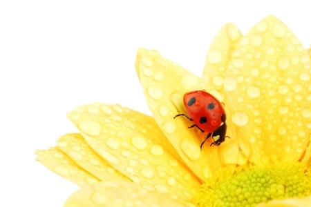 ladybug on yellow flower isolated white background photo