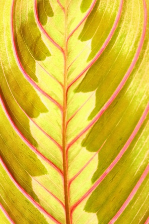 red leaf macro close up Stock Photo - 10459608