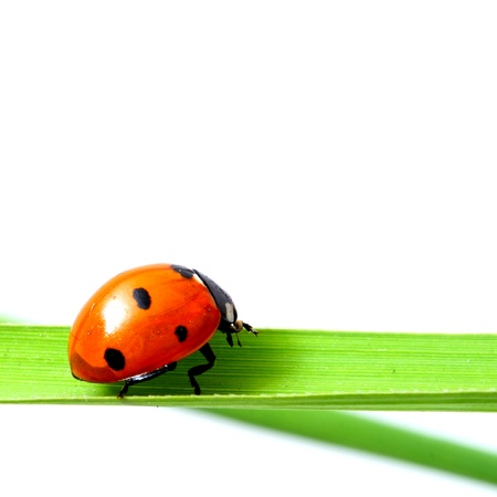 ladybug on grass isolated on white photo